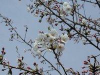 桜、もう一週間経つのにまだまだでした