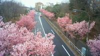 平和のシンボル「陽光桜」