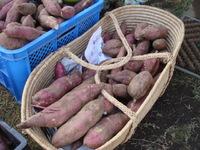 秋の収穫まつり、明日開催!~焼き芋が楽しみだぁ!~