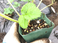 2017 1014イチゴの苗を植えてきたよ 2017/10/14 22:12:00