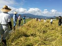 無農薬たんぼの稲刈り