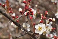 梅まつり始まりました♪ 曽我梅林~開花の様子(2/3)