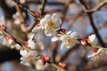 早咲の十郎梅の花