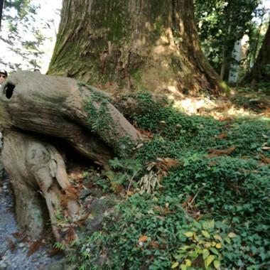 高尾山の【たこ杉】