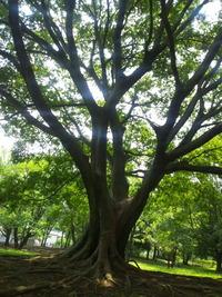 八国山の木登りの木