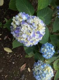 小平の紫陽花 見ごろは来週