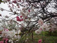 嵐にもめげず、八重の桃が返り咲く