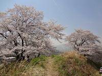 桜・さくら~満開の下曽我タンク山