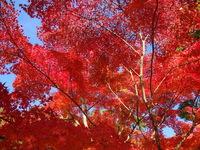 神奈川の自然探索①~足柄・丹沢の「紅葉」