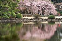 桜~新宿御苑2