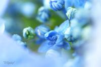 昭和記念公園~紫陽花2