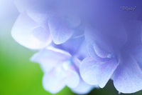 昭和記念公園~紫陽花1