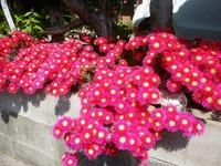 父が育てた花達