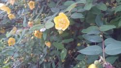 田んぼの横に咲いていた キンシバイ