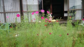 昨年のこぼれたコスモスの種が 芝生の中に芽が出てきて、