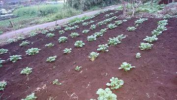 家庭菜園のジャガイモ