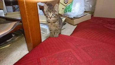 我が家の子猫
