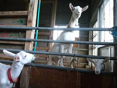 保育園の園長さんも山羊を競り落とし2頭のヤギを乗せて