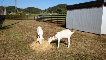 堀之内寺沢のヤギ牧場