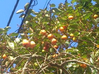 我が家の柿の木
