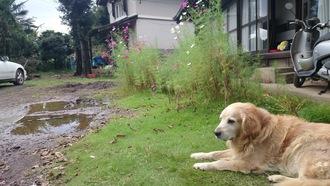 庭に咲くコスモスとコロ君