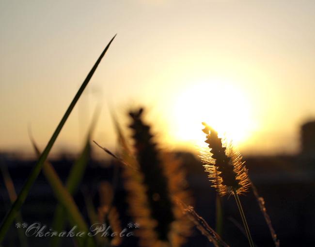 夕日に照らされたススキ