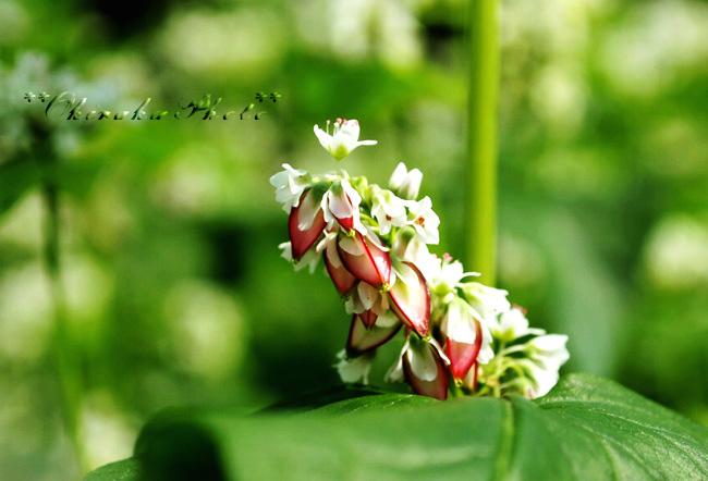 蕎麦の花と実