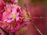 なばなの里の花々たち~庭梅と利久梅