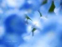 紫陽花2010~空色