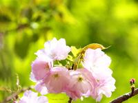 新緑の中の山桜