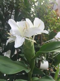 ホワイトジンジャーが咲きました