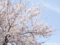 談合坂サービスエリアの桜がとってもきれいでした(^^)