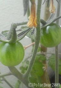 ミニトマトがなっておりますー!! 2009年11月