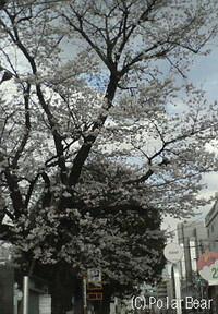 JR武蔵小金井駅近くの桜となります♪
