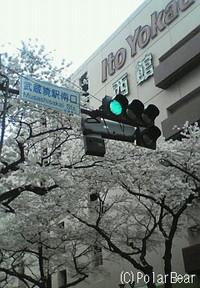 JR武蔵境駅近くの桜となります♪