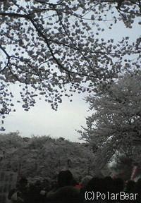 【第56回 小金井 桜まつり】に行ってまいりました(^▽^*