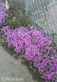 芝桜がキレイに咲いていました♪