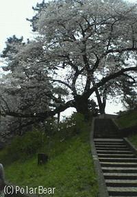 上智大学前のソフィア通りの桜並木です。