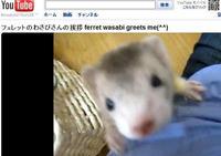 フェレットわさびさんのあいさつ【その2】動画