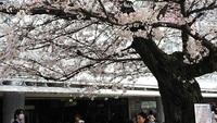 仙川の桜も満開!!!