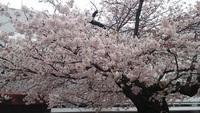 駅前の桜がやっと満開!