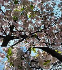 多摩地区の桜:小金井公園2009