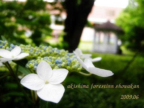 昭和館紫陽花2