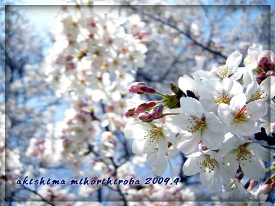 みほり広場桜1