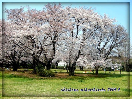 みほり広場桜2