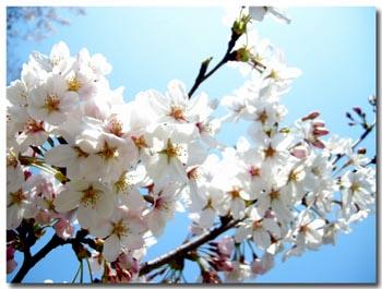 みほり広場桜3