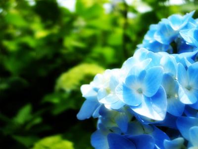 菖蒲園の紫陽花2