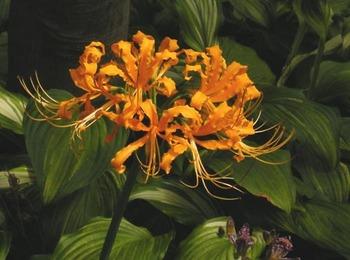 橙色の彼岸花