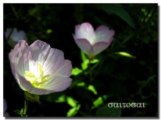 昼咲き月見草