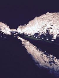 野川の桜ライトアップ2017、調布ブロガーさんが写真付きレポート